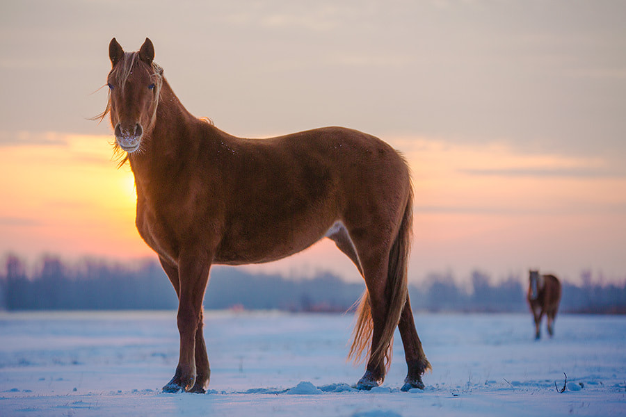 Photograph Horse in the snow by Peter Baas on 500px