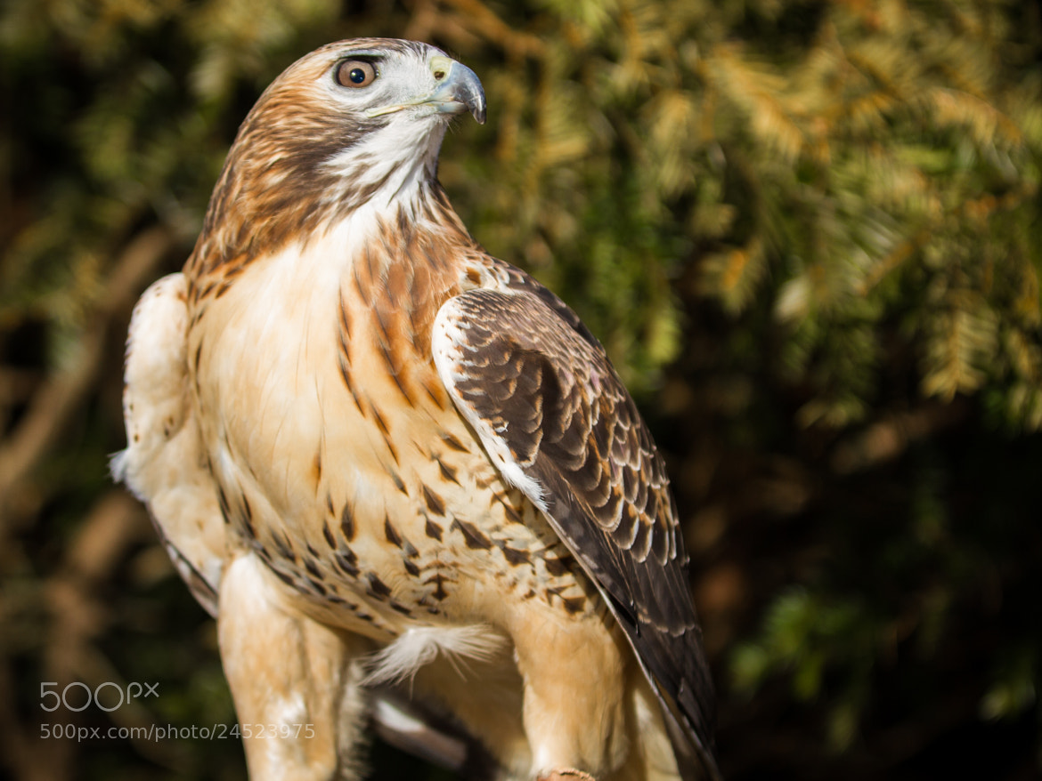 Photograph Red-tailed Hawk by Scott Turnmeyer on 500px