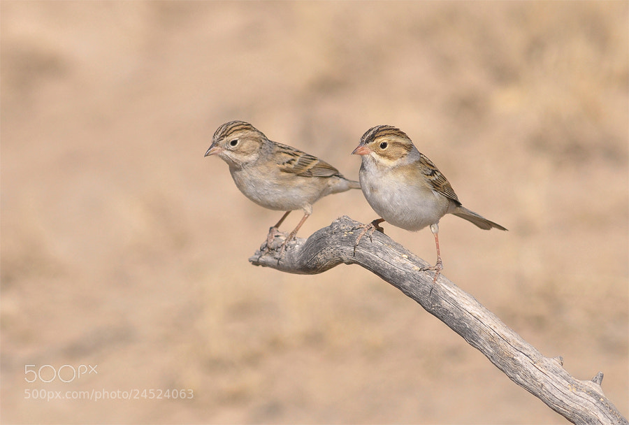 Photograph Clay-colored Sparrow by Luis Jaime Leal on 500px