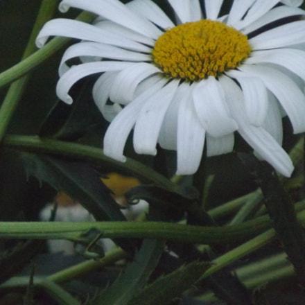 White Daisy, Fujifilm FinePix S4530