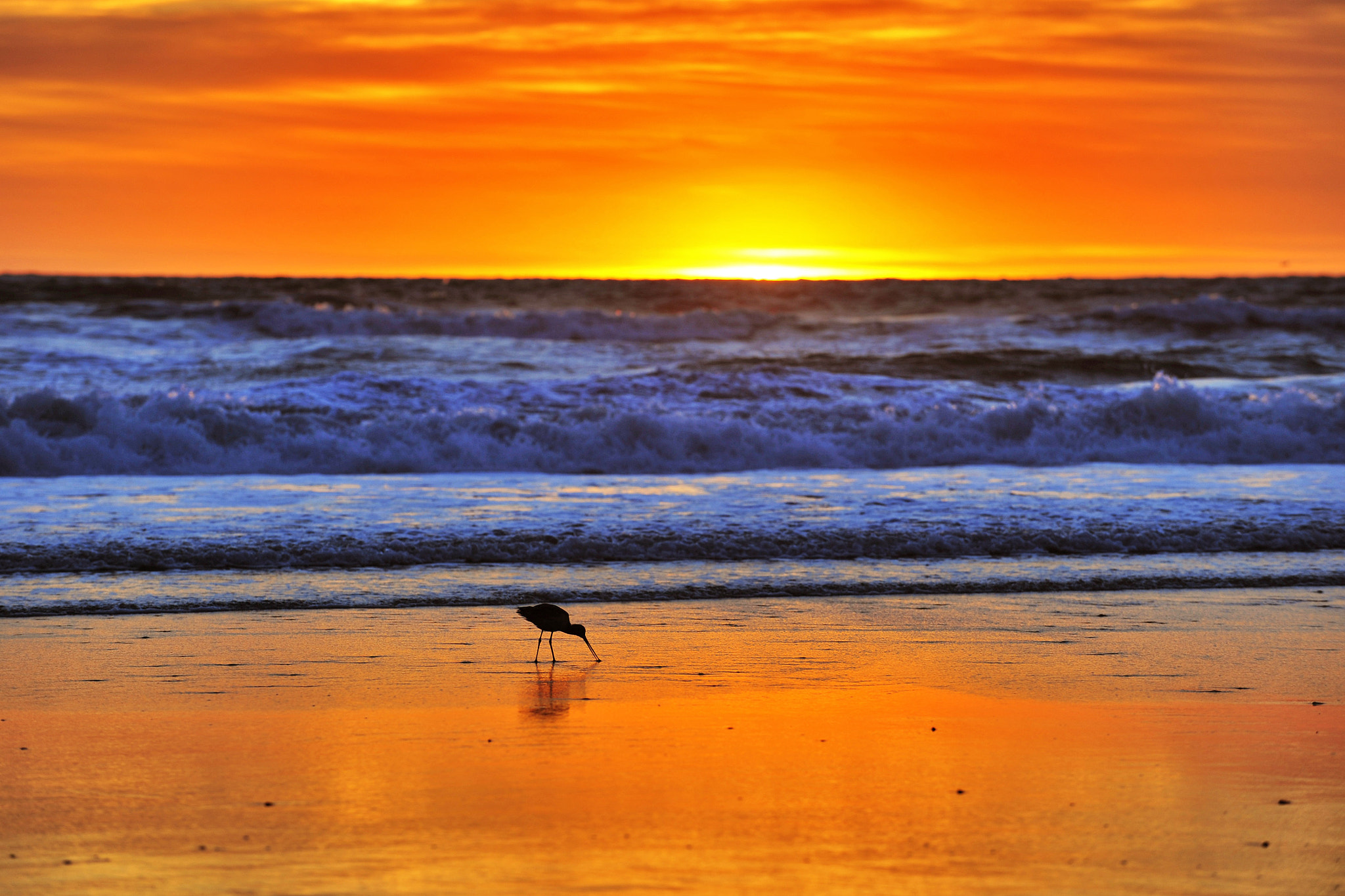 Photograph Sandpiper Digs for Sandcrabs at Sunset in Oceanside - January 28 by Rich Cruse on 500px
