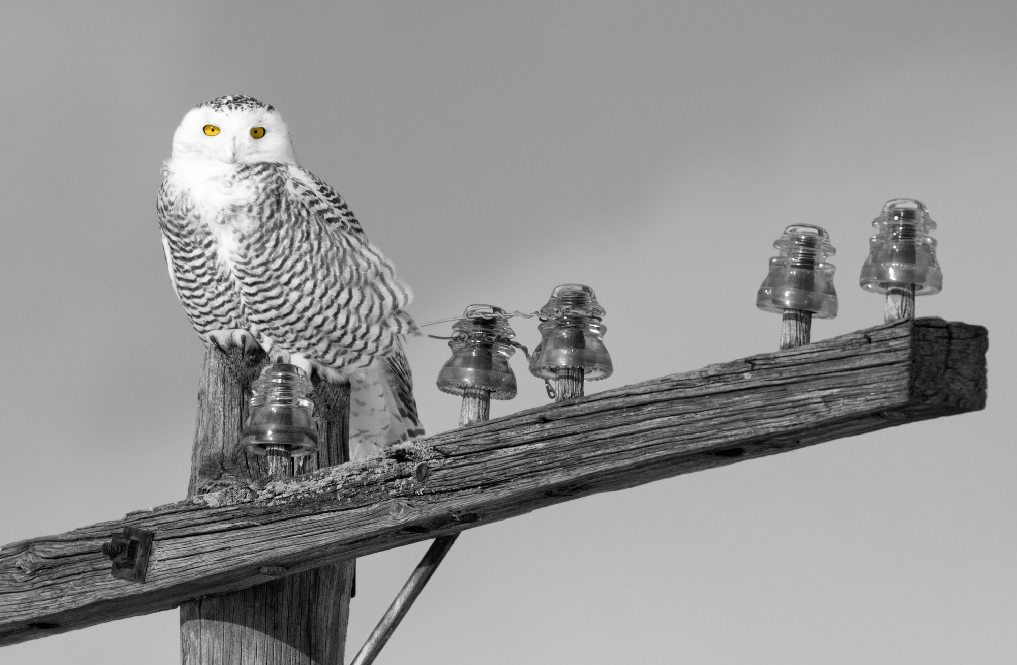 """Photograph OOKPIK """"  harfang des neiges """" by Renald Bourque on 500px"""