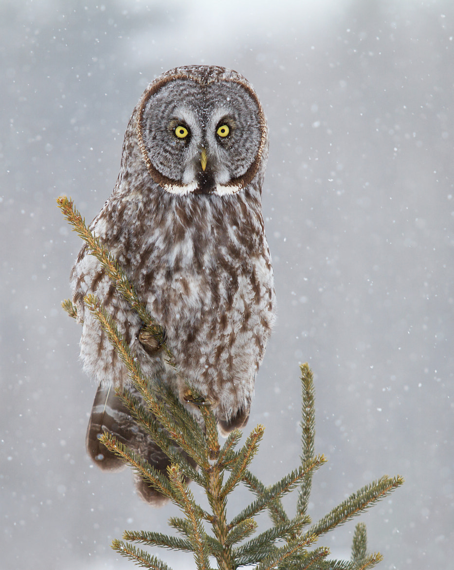 Photograph Pine Top - Great Grey Owl by Jim Cumming on 500px