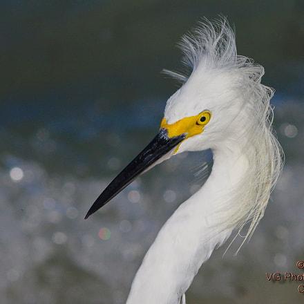 Snowy Egret, RICOH PENTAX K-3, smc PENTAX-DA* 60-250mm F4 [IF] SDM