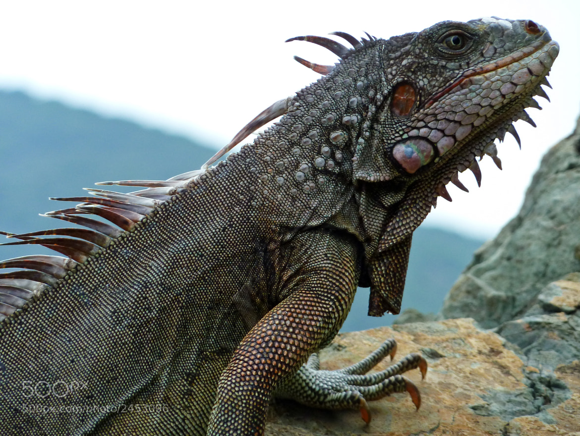 Photograph Island iguana by Brian Shannon on 500px