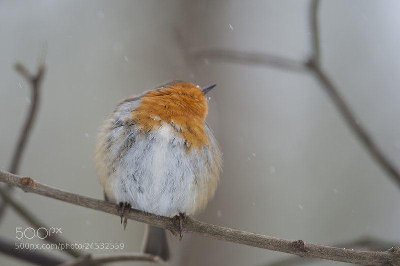 Photograph Robin by Pascale  Sobry on 500px