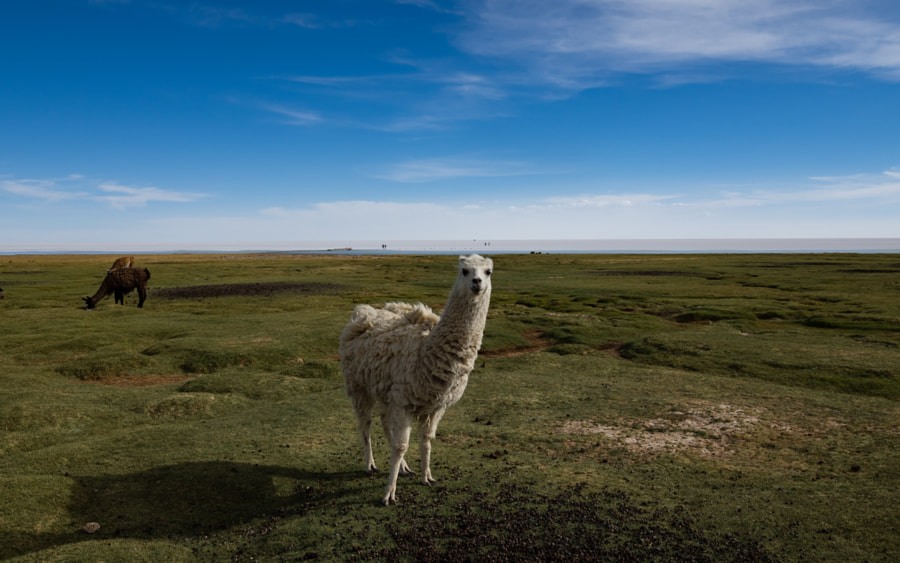 The Llama Stare by Nancy Lundebjerg on 500px.com