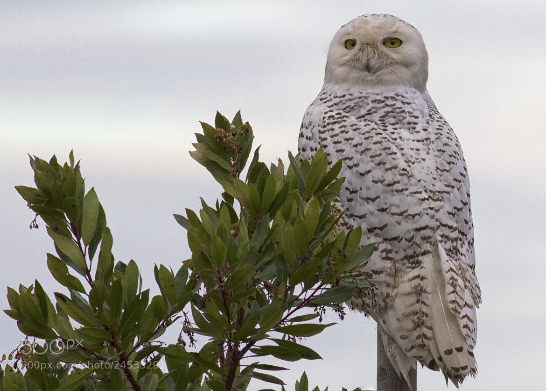 Photograph Snowy Owl by Martin Grančič on 500px