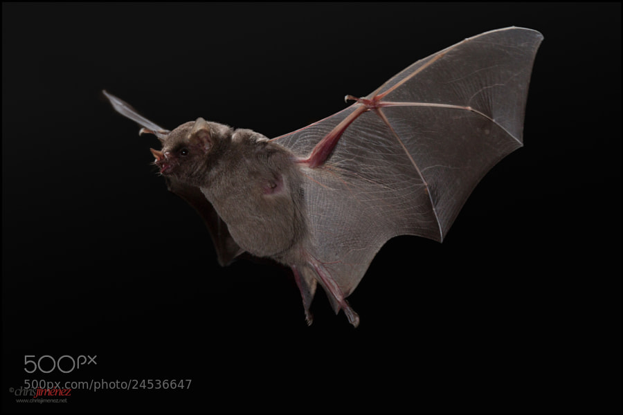 Photograph Common Long-tongued Bat by Chris Jimenez on 500px