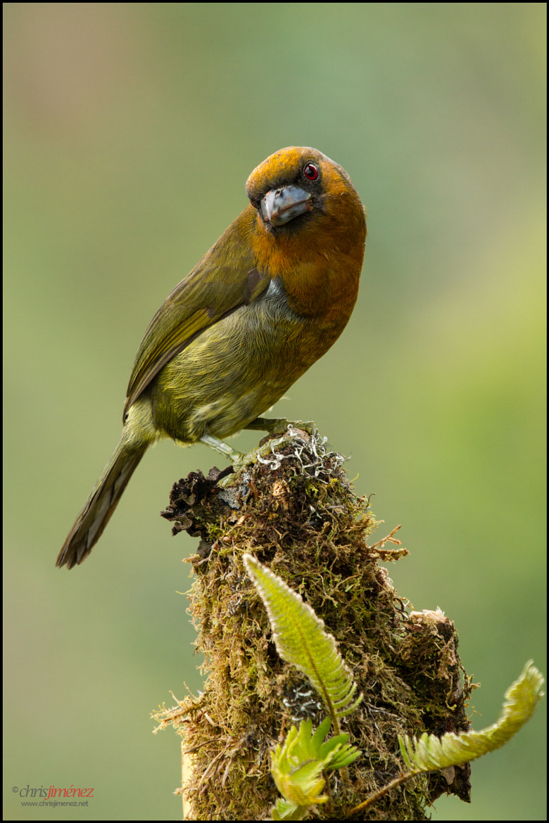 Photograph Prong-billed Barbet by Chris Jimenez on 500px
