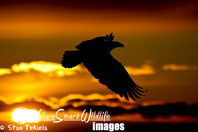 Photograph Bald Eagle at sunset by Stan Tekiela on 500px