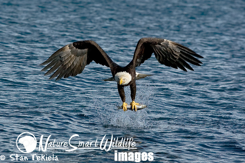 Photograph Bald Eagle (Haliaeetus leucocephalus) by Stan Tekiela on 500px