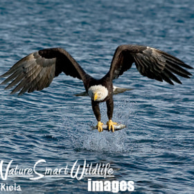 Bald Eagle (Haliaeetus leucocephalus) by Stan Tekiela (StanTekiela)) on 500px.com