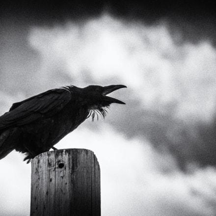 The Crow of Dawson City