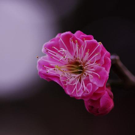 double ume blossoms 1, RICOH PENTAX K-3, smc PENTAX-D FA Macro 100mm F2.8 WR