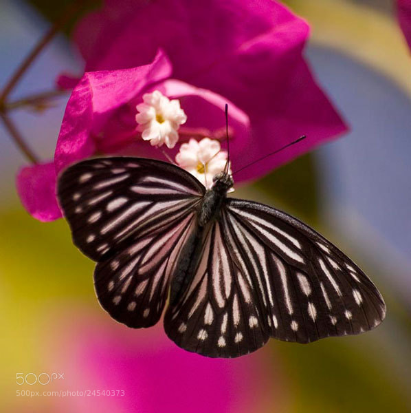 Photograph B/W Butterfly on Bougainvillea by Pat Burns on 500px