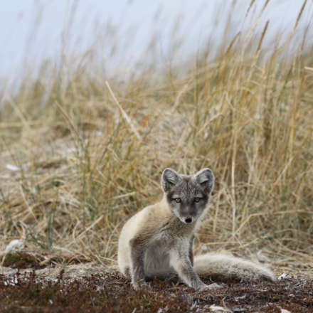 Young Arctic fox, Vulpes, Canon EOS 7D, Canon EF 300mm f/2.8L IS