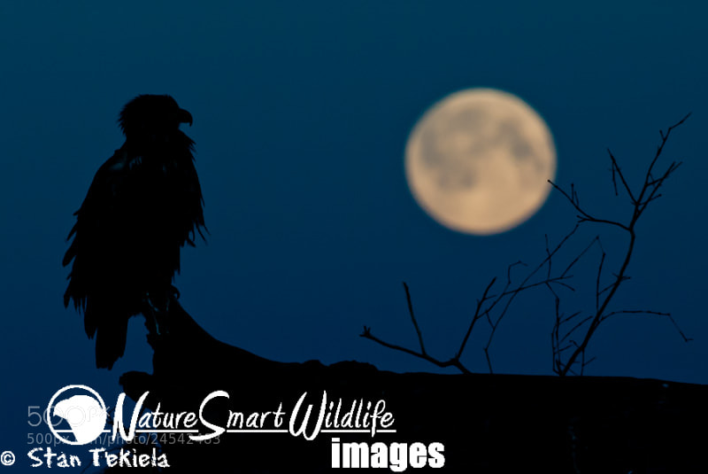 Photograph Bald Eagle in moon light by Stan Tekiela on 500px