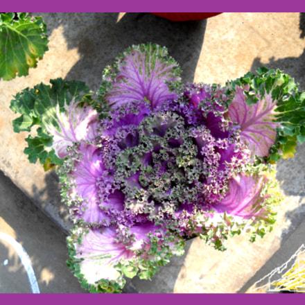 Colorful Cabbage flower, Nikon COOLPIX L20