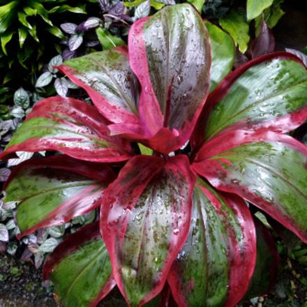 Red Bordered Leaves, Panasonic DMC-FZ47