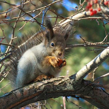 Squirrel, Canon EOS 70D, Canon EF 75-300mm f/4-5.6 USM