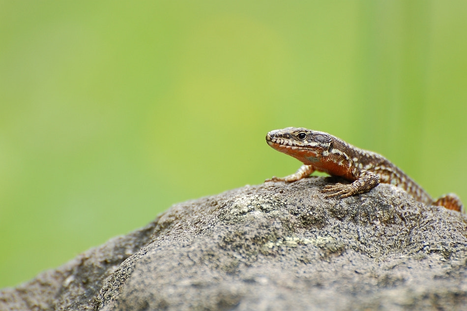 Photograph Lizard by Andrei Barbu on 500px