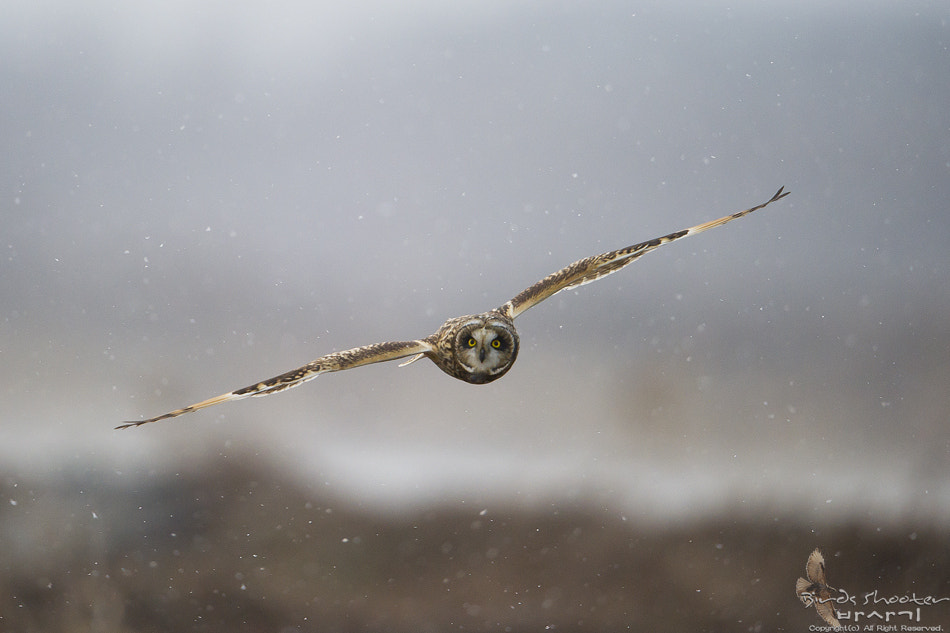 Photograph Short eared owl~ by basaki 바사기 on 500px