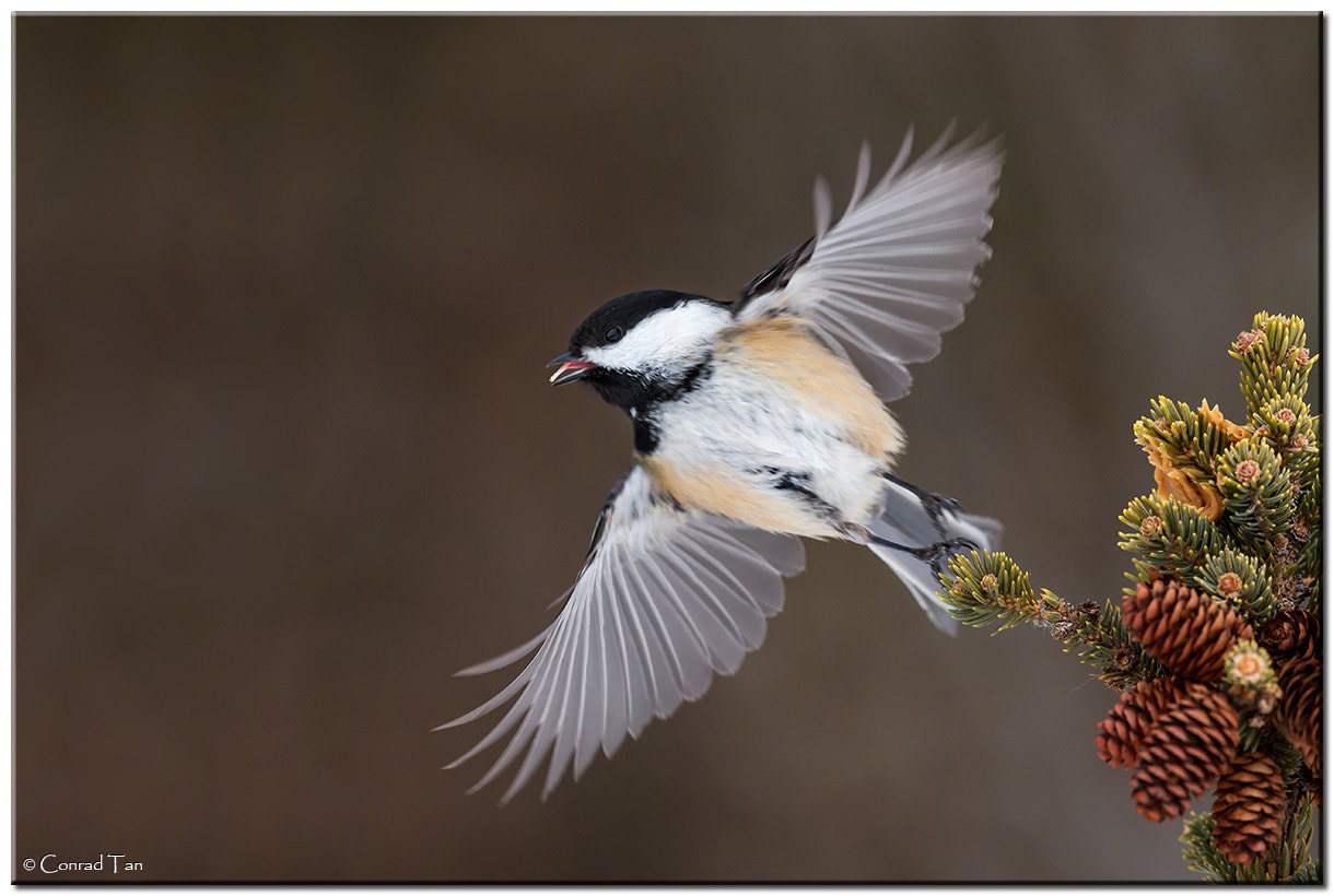 Photograph Black Capped Chickadee by Conrad Tan on 500px