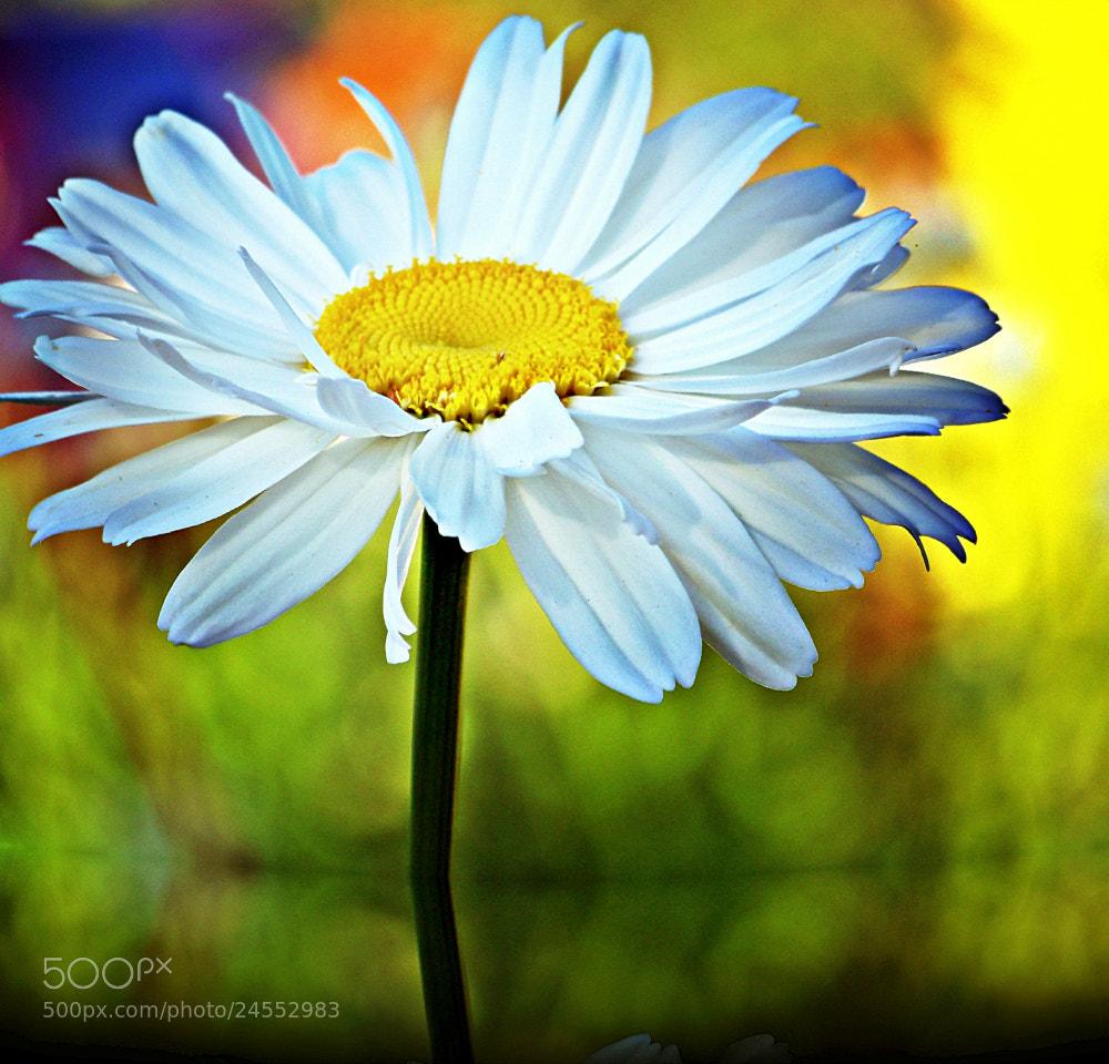Photograph chamomile by Alma Kerpauskiene on 500px