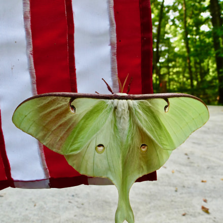 Luna Moth on American, Panasonic DMC-ZS15