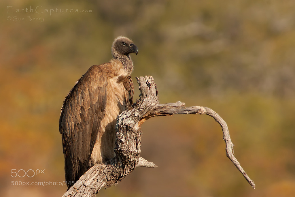 Photograph Vulture by Sue Berry on 500px