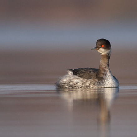 Eared Grebe and red, Canon EOS 70D, Canon EF 400mm f/5.6L