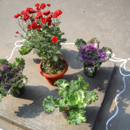 Beautiful cabbage flowers, Nikon COOLPIX L20