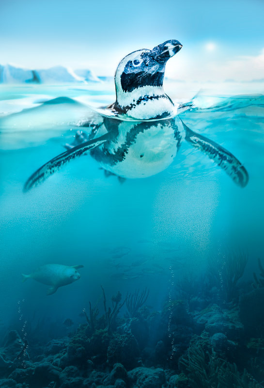 Photograph Penguin by Peter Hernandez on 500px