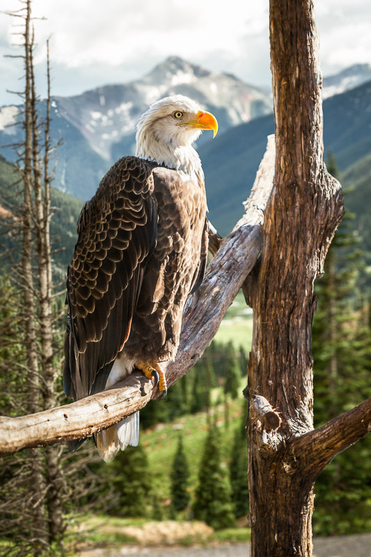 Photograph Bald Eagle in Colorado by Peter Hernandez on 500px