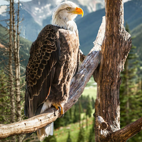 Bald Eagle in Colorado by Hernandez Imaging  (phdraw)) on 500px.com