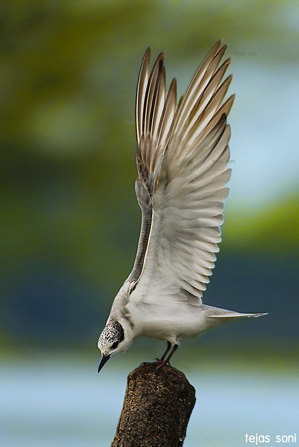 """Photograph """"Rock Rock Tern !!"""" by Tejas Soni on 500px"""