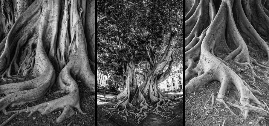 Ficus macrophylla triptych