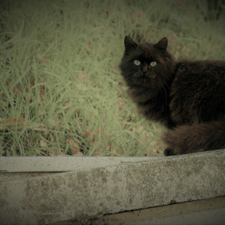 black cat, Nikon D2H, AF-S DX Zoom-Nikkor 18-135mm f/3.5-5.6G IF-ED