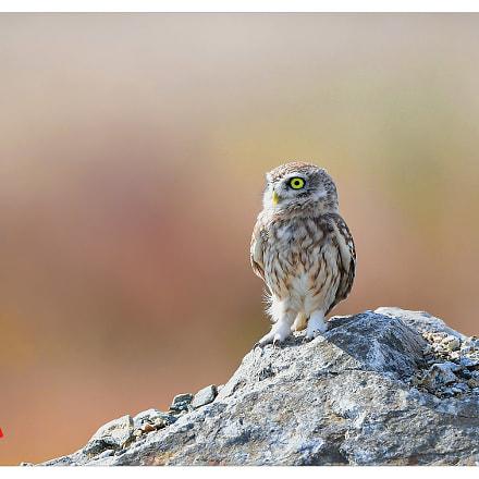 little owl, Nikon D5
