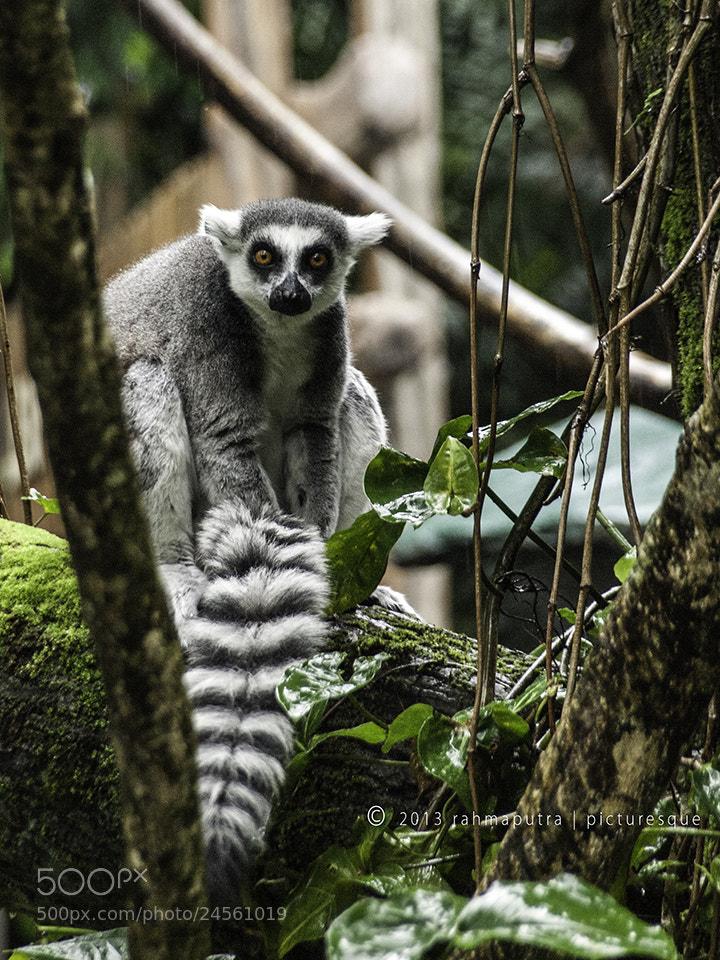 Photograph Ring-tailed Lemur by Dwi Rahmaputra Judha on 500px