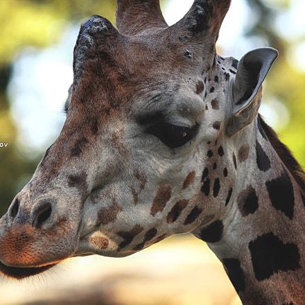Giraffe Portrait II