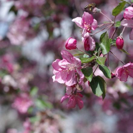 blooming apple tree, Pentax K-30, smc PENTAX-DA 70mm F2.4 Limited