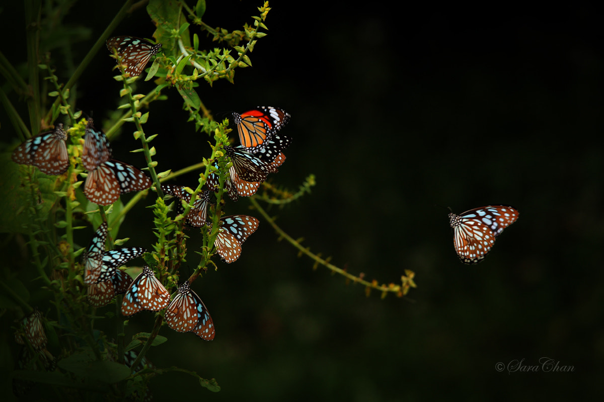 Photograph Butterflies by Sara Chan on 500px