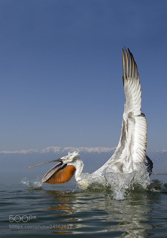 Photograph Dalmatian Pelican by Mirek Zítek on 500px