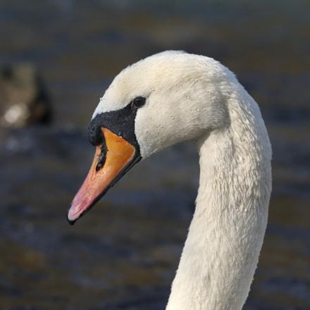 Höckerschwan | mute swan, Nikon D300, Sigma APO 100-300mm F4 EX IF HSM