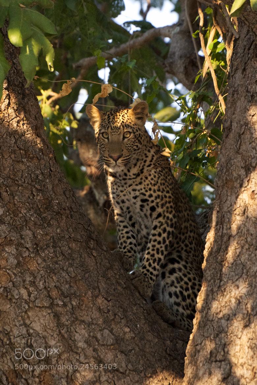 Photograph Leopard by Nicole Cambré on 500px