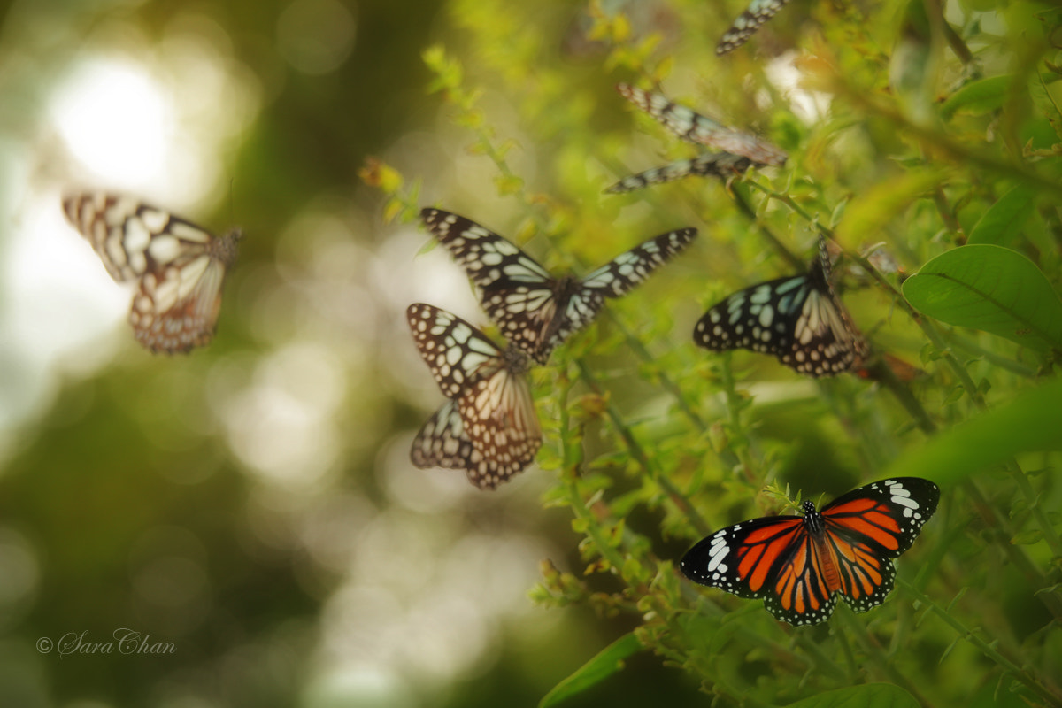 Photograph Butterflies 2 by Sara Chan on 500px