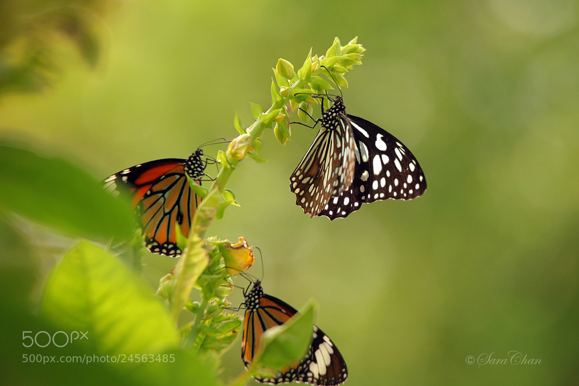 Photograph Butterflies 3 by Sara Chan on 500px