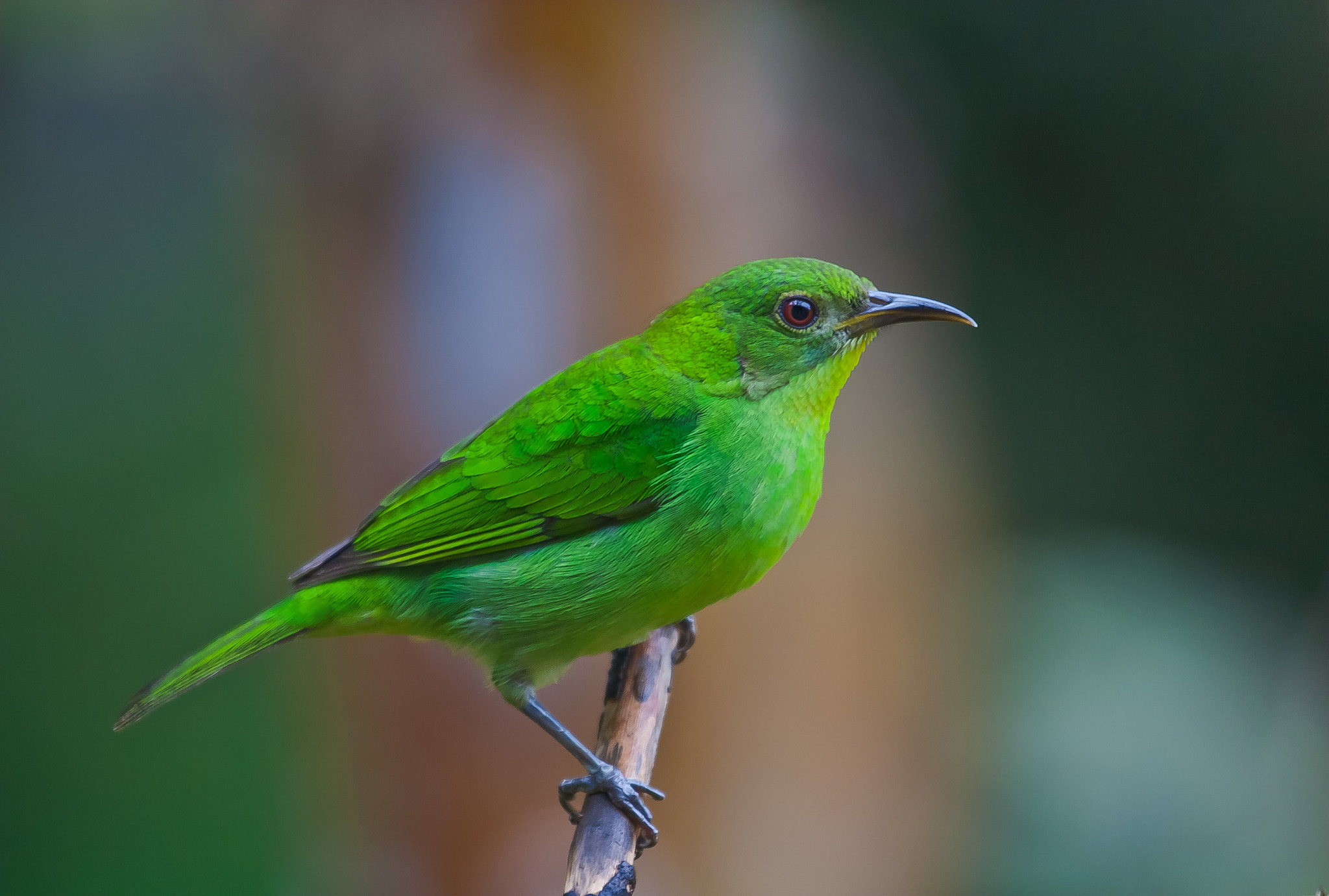 Photograph Green Honeycreeper (Chlorophanes spiza) Female by Bertrando Campos on 500px